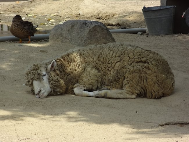 お疲れの羊