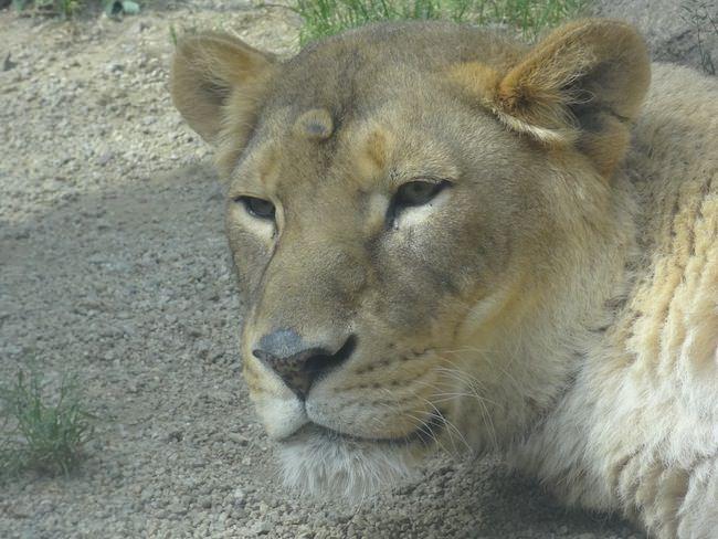 起きたライオン