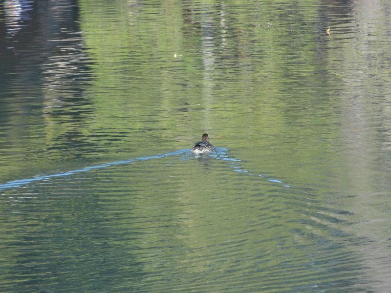 後楽園の池をスイスイ泳ぐ鴨