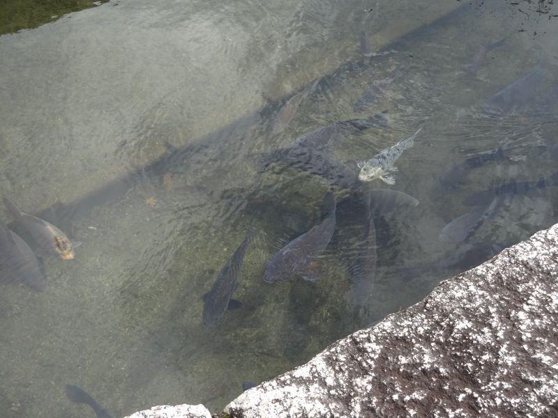 勝山の水はきれいのか、鯉も元気いっぱい!