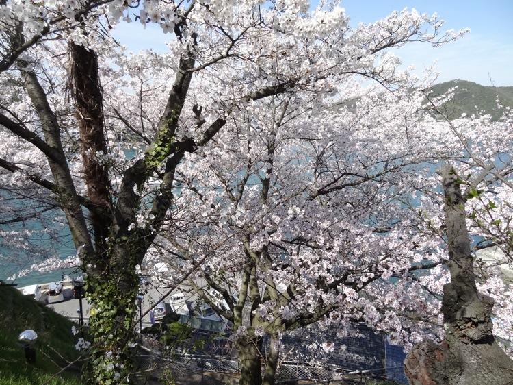 向島 高台の桜