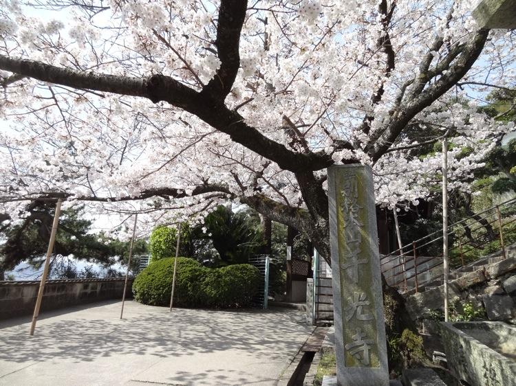 千光寺前の桜
