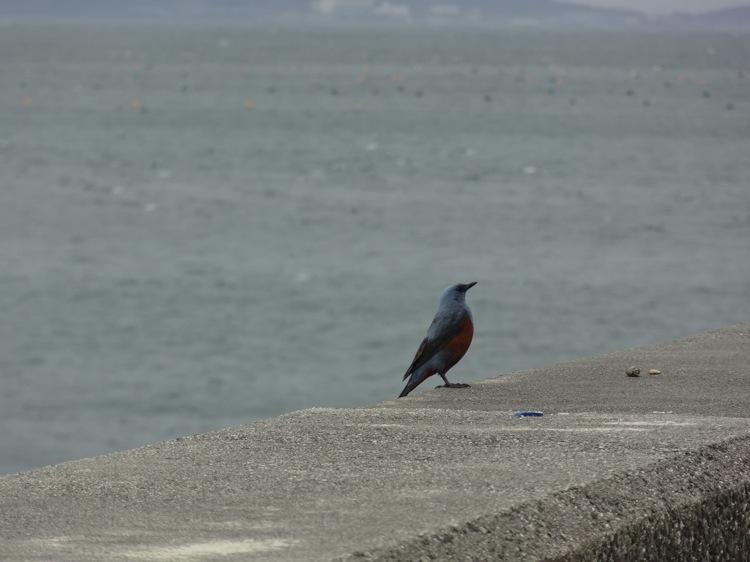篠島にいた青い鳥