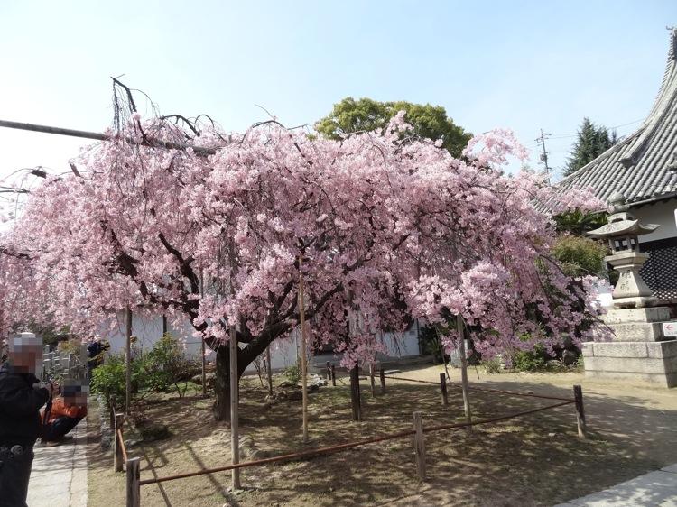 天寧寺で咲いていた枝垂れ桜