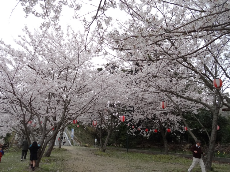 鳥羽の城山公園 一面、桜が咲いています