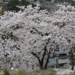 鳥羽城山公園の桜は見ておきたい!鳥羽城本丸跡からも桜を見降ろせます