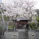 南知多の豊浜にある津島神社は本殿の横に大きな桜の木があります