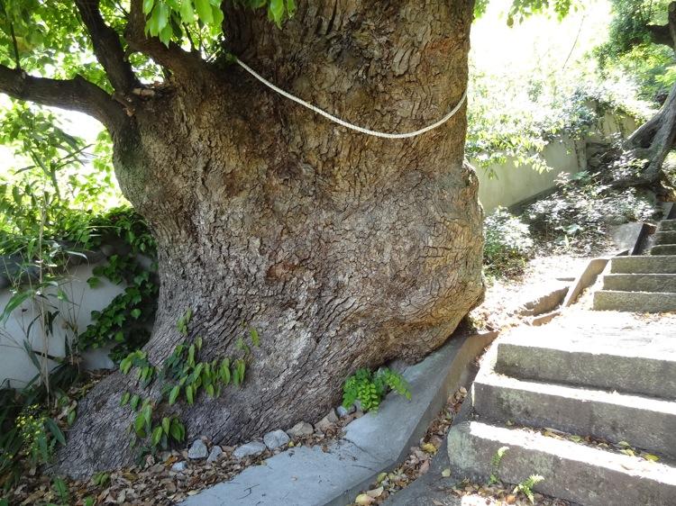 直島の八幡神社への道にある太い木