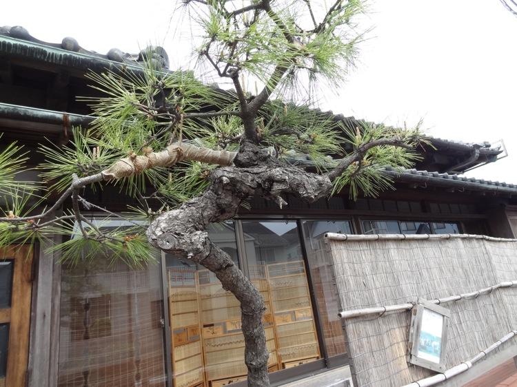 亀時間前の松の木