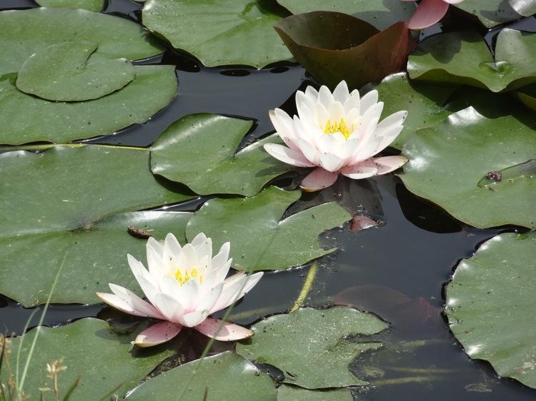 栗林公園 蓮の花