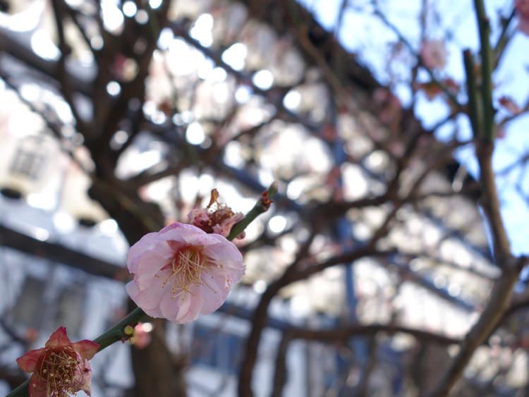 巣鴨 真性寺 梅の花