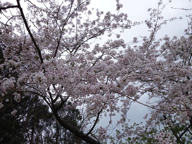 男木島 加茂神社の桜