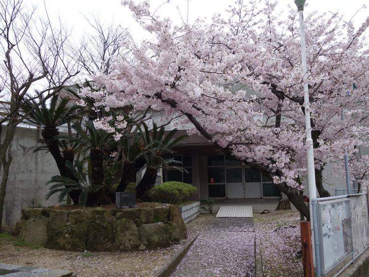 男木小学校の桜